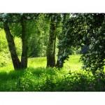 ФОТОобои 294*201см Березовая поляна 9л